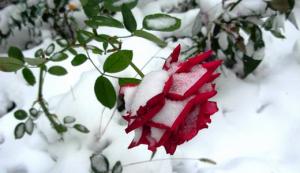Как укрыть розы на южном урале