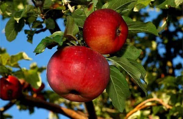 Яблоня Апорт на дереве
