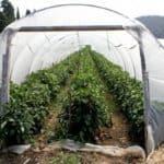 выращивание овощей в тоннелях