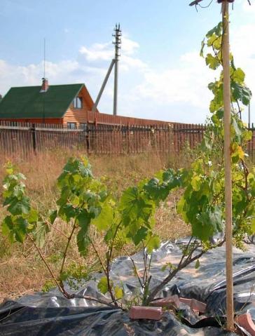 Как сохранить виноград зимой и весной