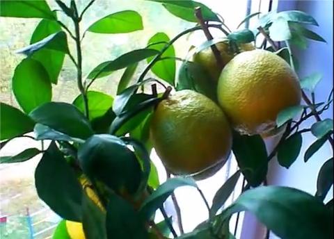 Выращивание цитрусовых как бизнес 75
