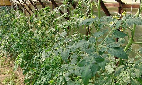 Выращивание огурцов в теплице затраты 40