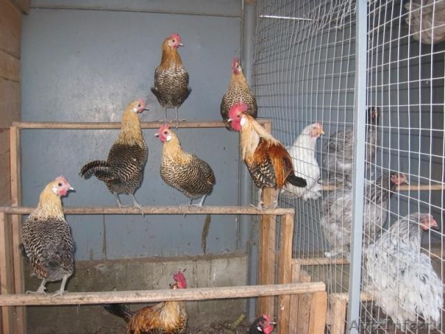 Выращивание цыплят кучинских в домашних условиях 52