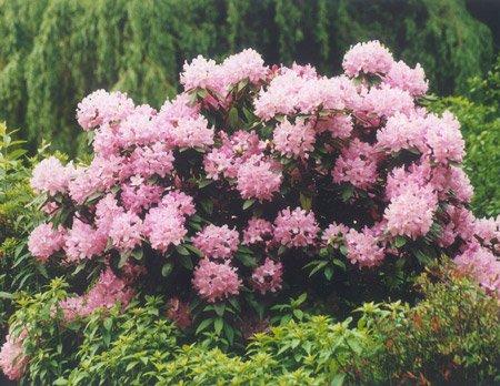 Рододендрон фото цветов где растут и когда