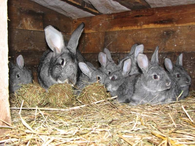 Особенности зимнего окрола кроликов