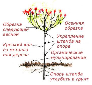 Как привить на штамб розу