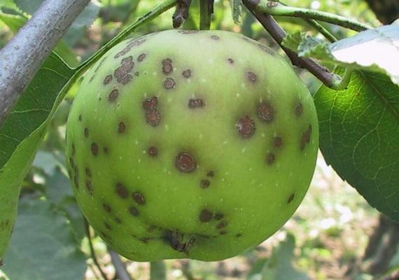 Парша яблони и сливовая плодожорка